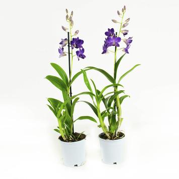 Orchidee Blue Happiness Blauw - 2 Stuks
