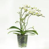 Orchidee Soft Cloud Wit 50 cm