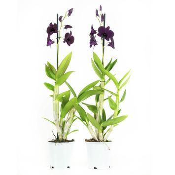 Orchidee Thailand Black Paars - 2 Stuks