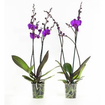 Orchidee Atlantis Lila - 2 Stuks