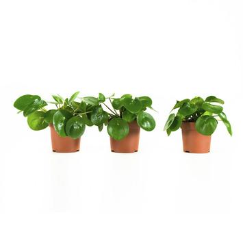 Pannenkoekplant Pilea Peperomioides - 3 Stuks