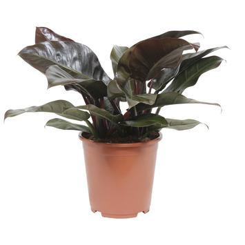 Philodendron Imperial Red Rood