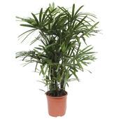 Stokpalm Rhapis Palm 110 cm