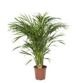 Goudpalm Areca Palm 100 cm