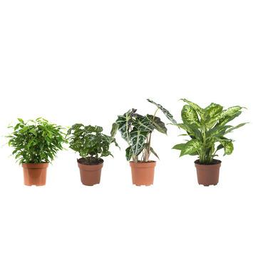 Combibox - Ficus, Koffieplant, Alocasia en Dieffenbachia