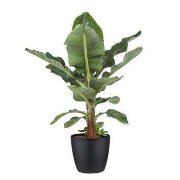 Bananenplant Musa met Elho Bloempot Brussels Zwart