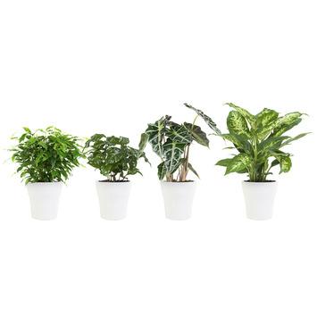 Combibox - Ficus, Koffieplant, Alocasia en Dieffenbachia met Bloempot Wit