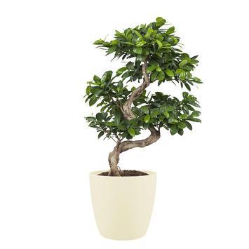 Bonsai Ficus met Elho Bloempot Brussels Soap