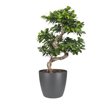 Bonsai Ficus met Elho Bloempot Brussels Antraciet