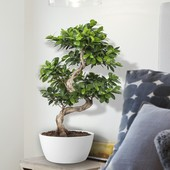 Bonsai Ficus Bonsai Gin Seng 70 cm