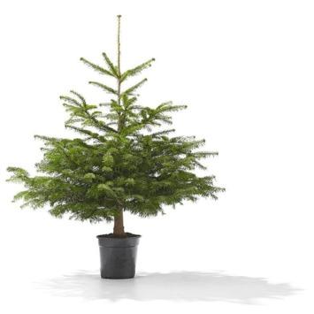 Nordmannspar Excellent Kerstboom hoogte 100-150cm