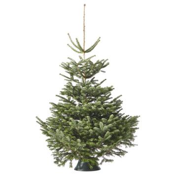 Nordmannspar kerstboom 150-175 cm