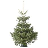 Nordmannspar kerstboom 175-200 cm